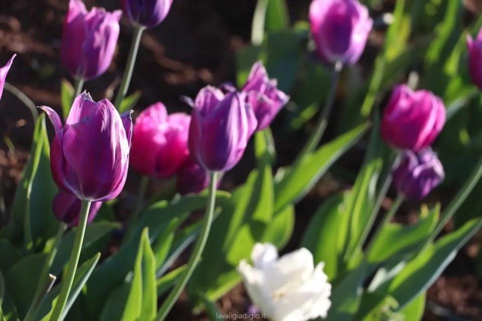 tulipark di roma varietà