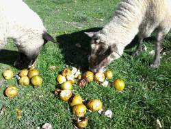 the ewes Ruby and Pepsi eat windfall pears