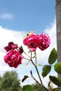 rose24