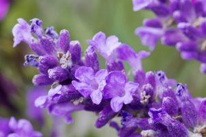 fresh lavender flower close up