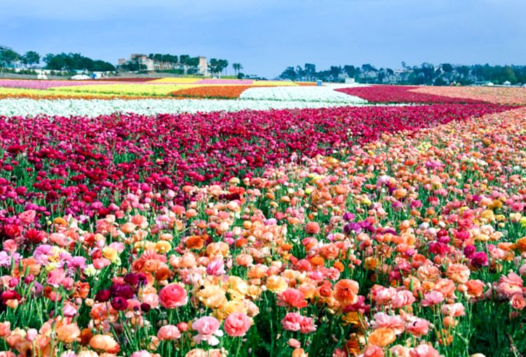 San Diego Bucket List - Carlsbad Flower Fields
