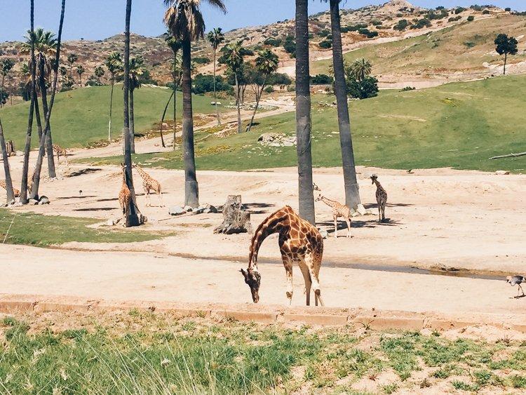 Giraffe - San Diego Zoo Safari Park