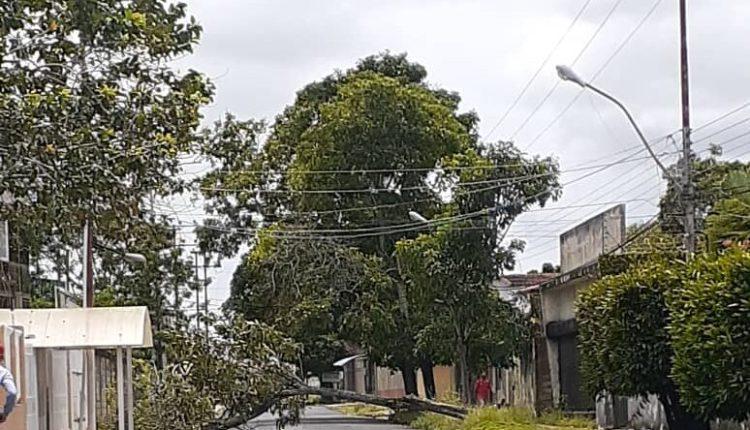 árbol Juanico