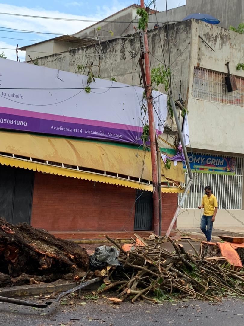 desplome de arbol en la avenida miranda dejo sin electricidad e internet a parte de maturin laverdaddemonagas.com arbol4