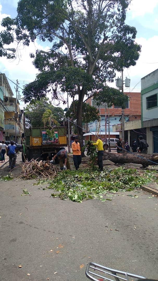 desplome de arbol en la avenida miranda dejo sin electricidad e internet a parte de maturin laverdaddemonagas.com arbol7
