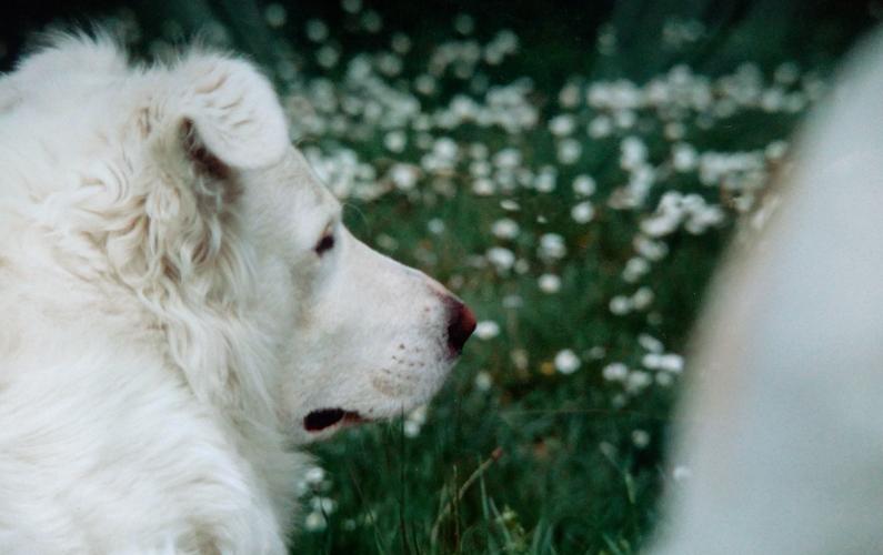 Giorgio-pastore maremmano - La versione di Pippi