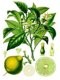 Bergamot plant