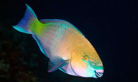 pez-loro-scaridae-xl-668x400x80xX