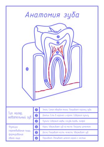Анатомия зуба - чертеж