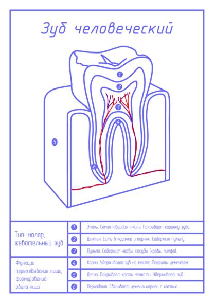 Зуб человеческий