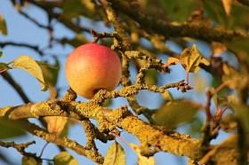 Le B.A. ba de la taille des arbres fruitiers