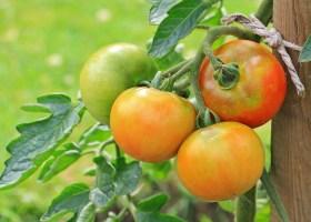 Petite histoire de la tomate