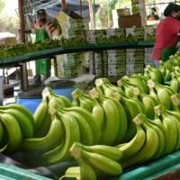 @AgriculturaRD Gobierno extenderá la mano al sector bananero