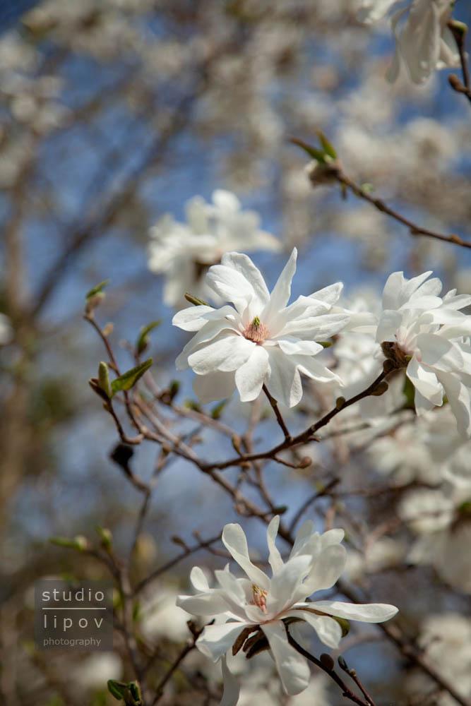 Powsin. Dzień Magnolii