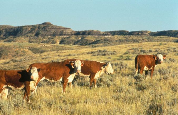 hereford_cattle