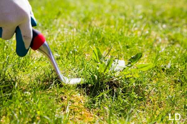 best dandelion removal tools