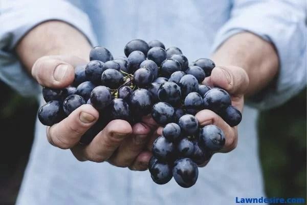 How-to-grow-Acai-Berries-guide