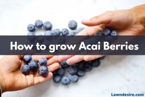 How to grow Acai Berries