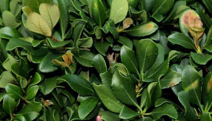 Best Fungicide for Entomosporium Leaf Spot