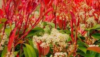 Best Fertilizer for Red Tip Photinia