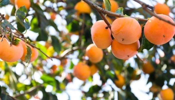 Best Fertilizer for Persimmon Fruit Tree