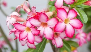Best Fertilizer For Desert Rose