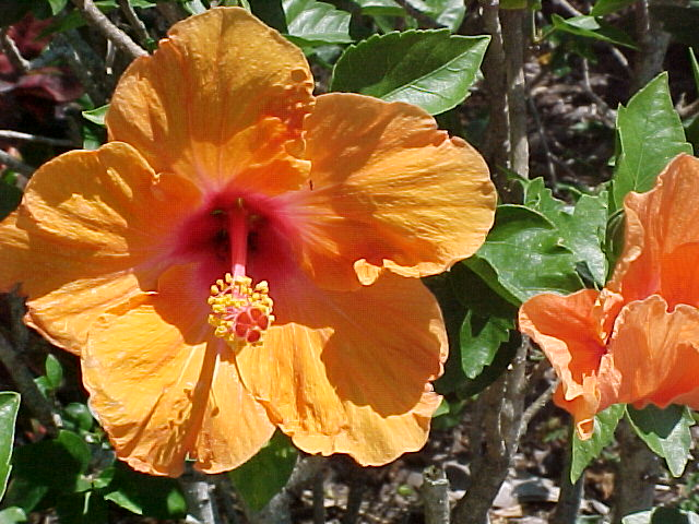 Hibiscus - Florida Friendly