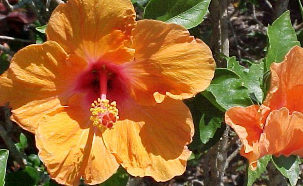 Hibiscus - Florida Friendly
