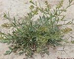 Pepperweed