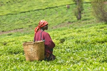 Young female teapicker in Rwanda