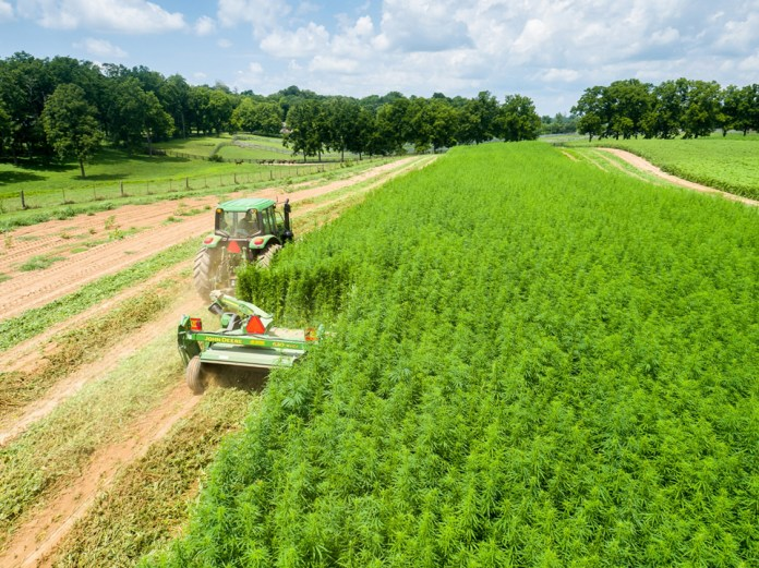 A tractor in a field of marijuana harvesting the crops