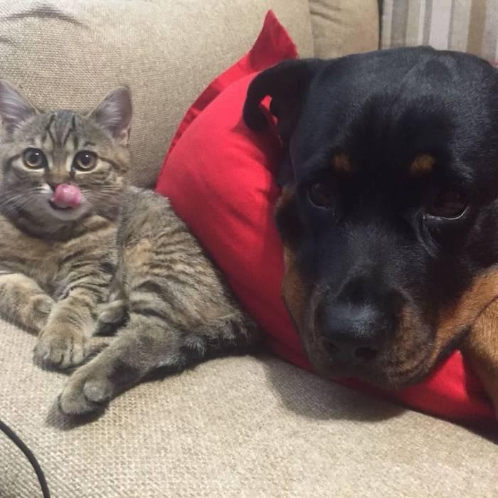 Два огромных и суровых пса превратились в заботливых папаш