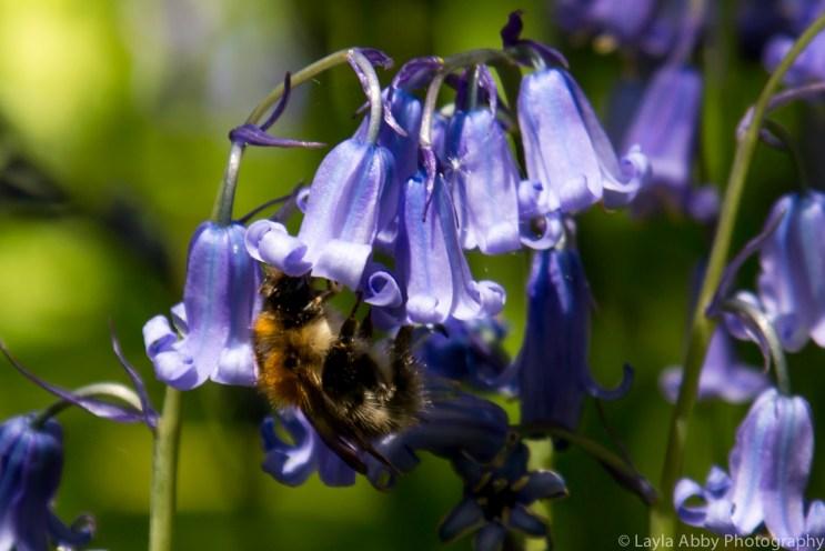 Bumblebee & Bluebell