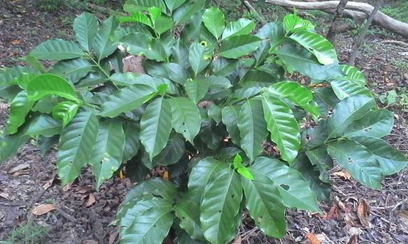 Our newly planted arabica coffee trees.(Status of plants as Jof uly 2015 - these were planted last february 2015)