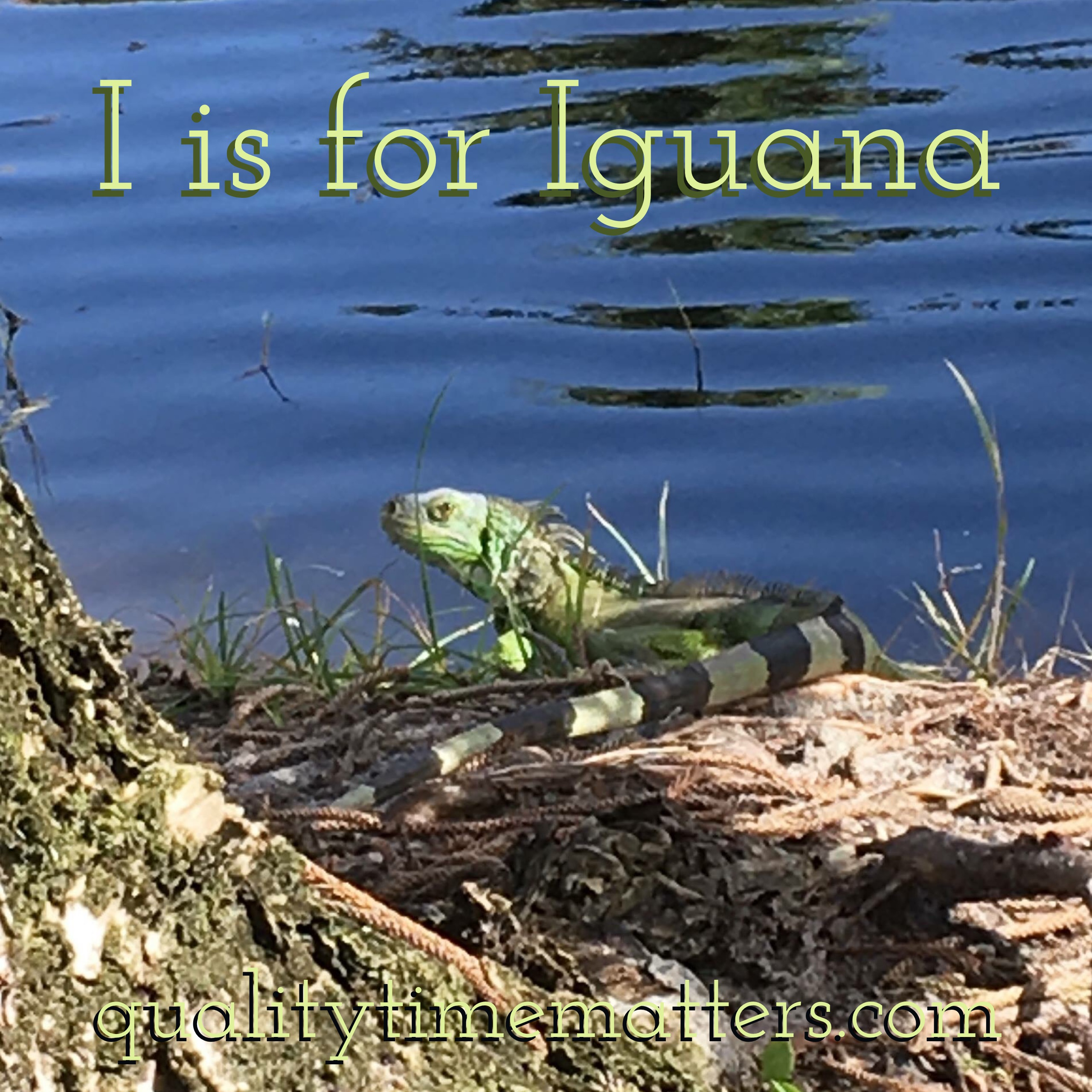 Animal Encounters Iguana