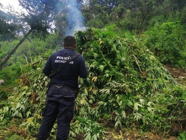 Destruye SSP 15 mil plantas de marihuana, en Charo