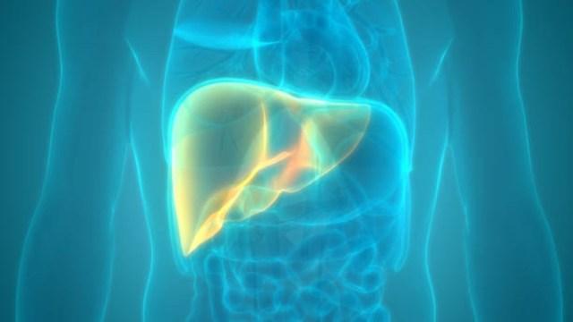 Hígado: Científicos desvelan mecanismos de la función hepática
