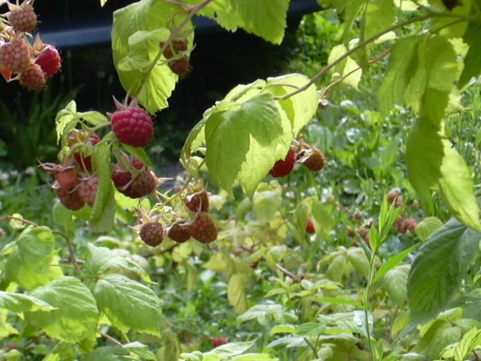 raspberries june 2009 006