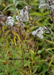 solidago-mark