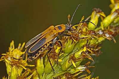 Pennsylvania_Leather_Wing,_aka_Goldenrod_Soldier_Beetle_-Chauliognathus_pensylvanicus,_Merrimac_Farm_WMA,_Virginia