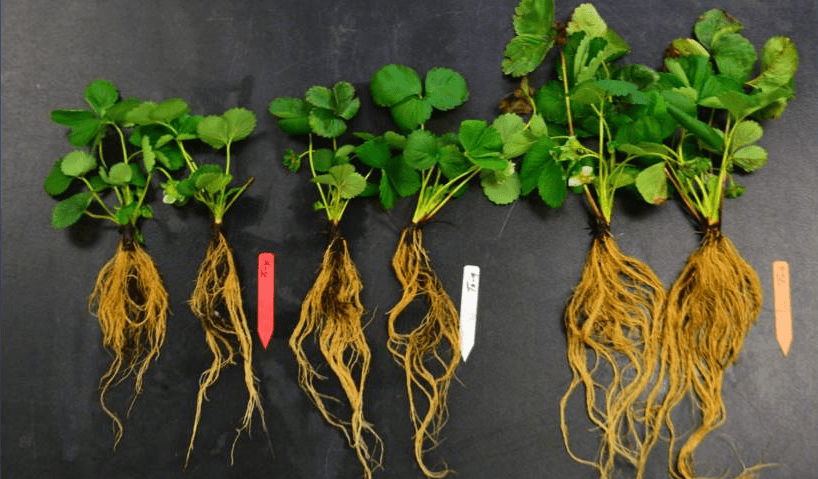 Biostimulant- Improvement of seed and increase in crop yields