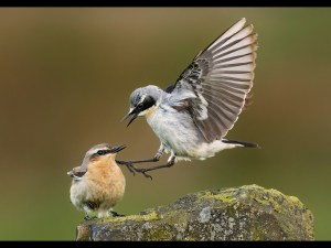 Wheatear Aggression - John Barlow