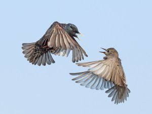 Starling Squabble - Martin Jump