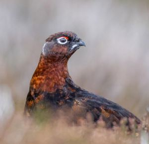 Grouse by Mike Lawson