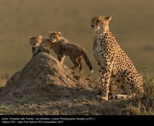 Cheetah with Family, by Ian Whiston