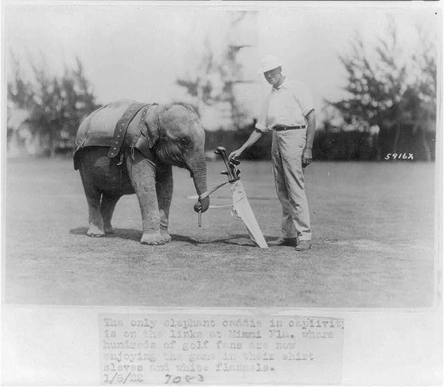 [Elephant caddie on Miami, Florida, golf course]