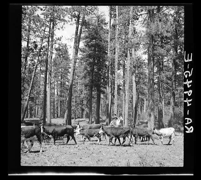 Herding cattle in summer pasture. Deschutes National Forest, Oregon
