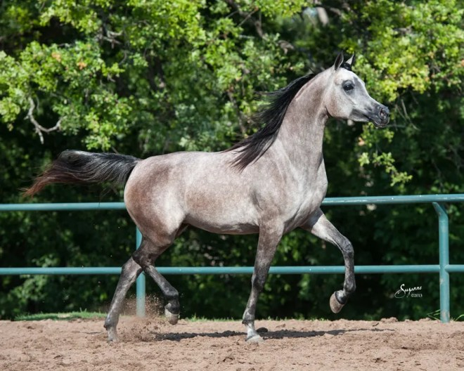 Karimah Magidaa LDA grey Egyptian Arabian filly for sale