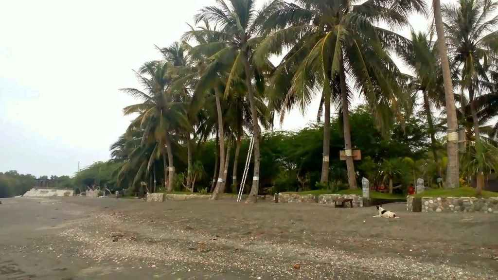 Coconuts next to the beach.