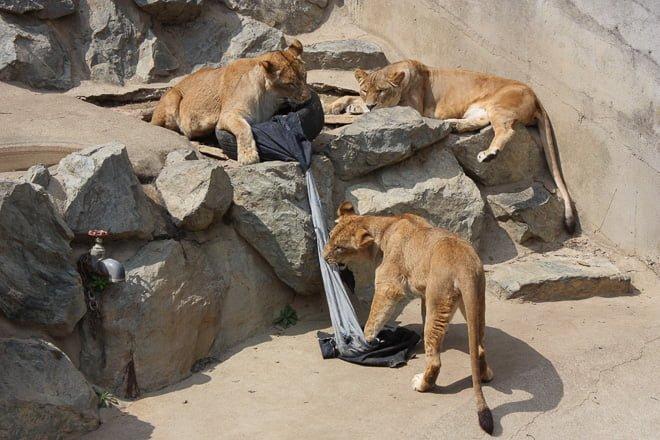 # Zoo Jeans 讓老虎、獅子當設計師:這才是真正的獸爪牛仔褲! 10
